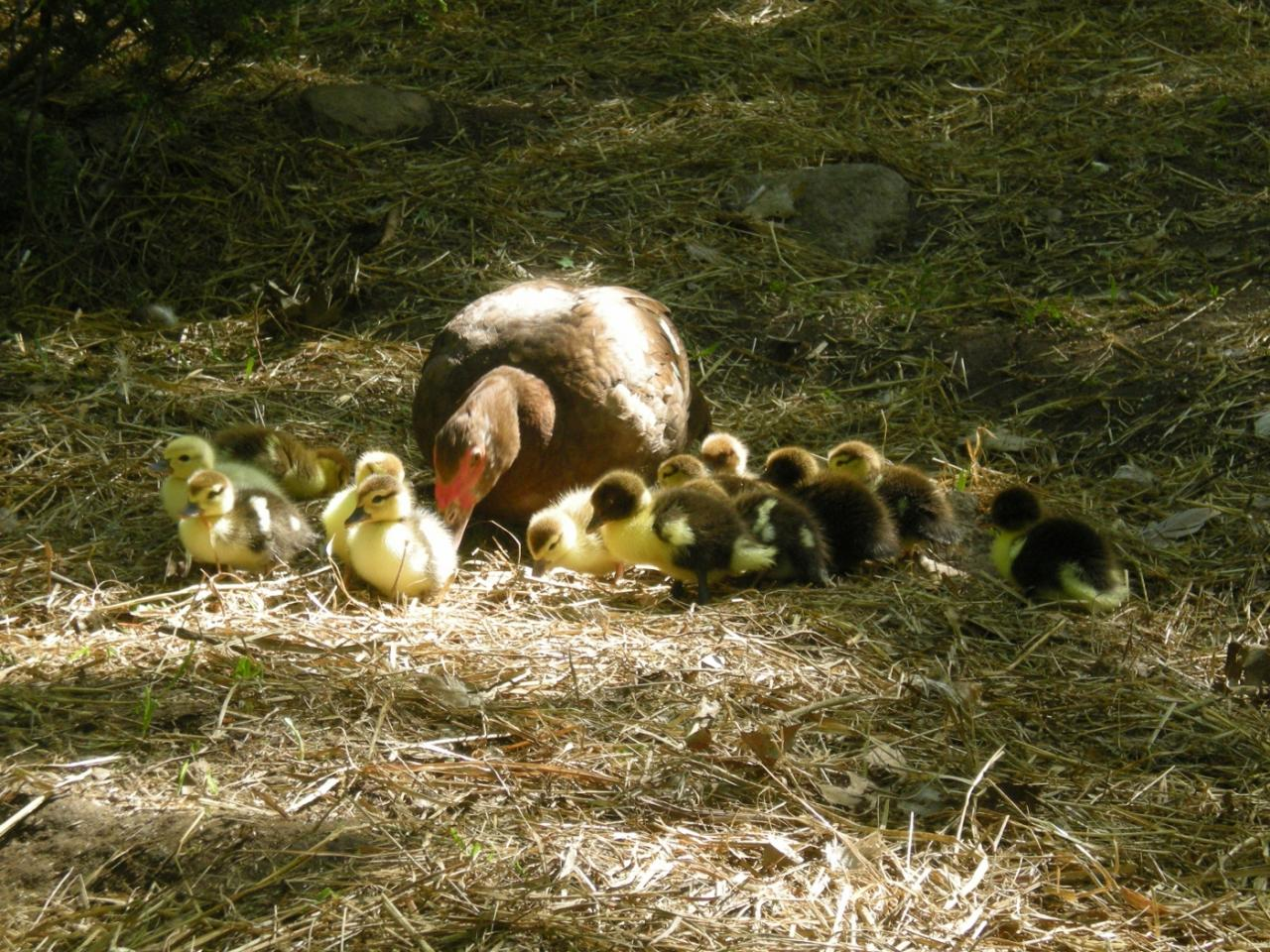 First clutch of ducklings